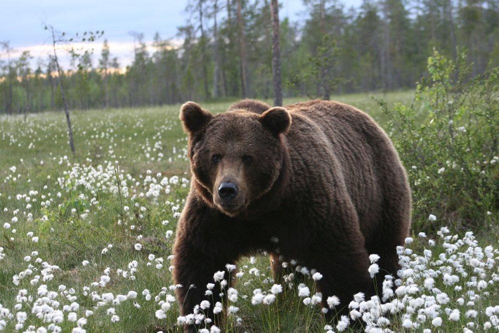 Kalevala bear